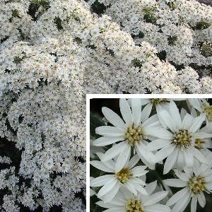 OLEARIA x scilloniensis