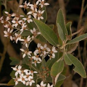 OLEARIA 'Waikariensis'