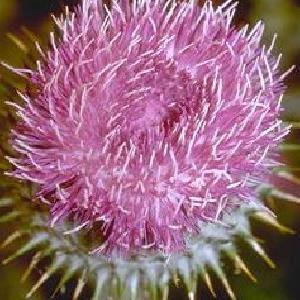 ONOPORDUM nervosum (acanthium)