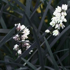 OPHIOPOGON planiscapus 'Black Dragon'