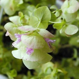 ORIGANUM rotundifolium 'Kent Beauty'