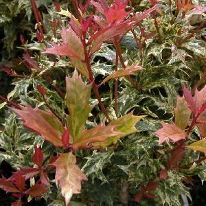 OSMANTHUS heterophyllus 'Goshiki' ('Tricolor')