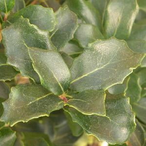 OSMANTHUS heterophyllus 'Rotundifolius'