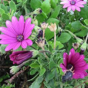 OSTEOSPERMUM 'Nairobi Purple' ('Tresco Purple')