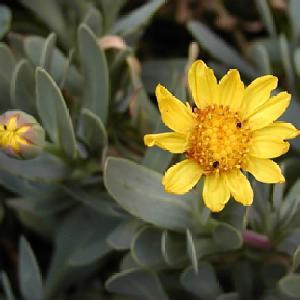 OTHONNA cheirifolia