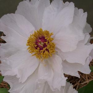 PAEONIA blanche Moon of Nippon