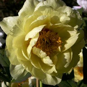 PAEONIA 'High Noon'