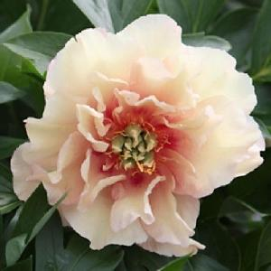 PAEONIA itoh 'Canary Brilliant'