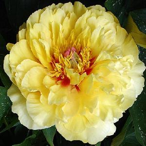 PAEONIA itoh 'Golden Treasure'