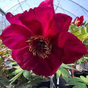 PAEONIA itoh 'Morning Lilac'