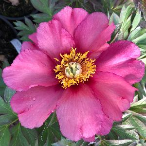 PAEONIA itoh 'Old Ross Dandy'