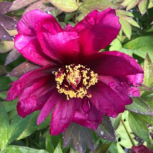 PAEONIA itoh 'Pink Double Dandy'