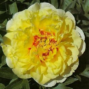 PAEONIA itoh 'Yellow Heaven'