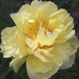 PAEONIA itoh 'Yellow Waterlilly'