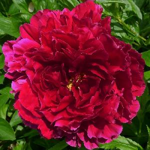 PAEONIA 'Old Faithful'