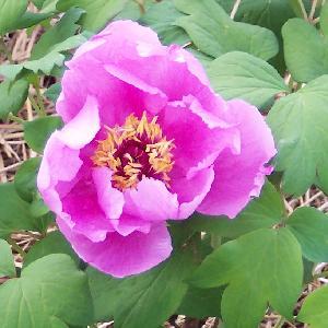 PAEONIA rose simple