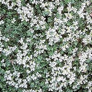 PARONYCHIA kapela ssp. serpyllifolia