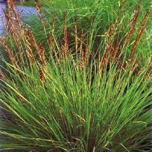 PASPALUM glaucifolium