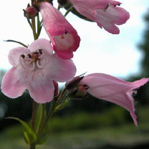 PENSTEMON 'Apple Blossom'