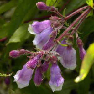 PENSTEMON 'Blue Spring'