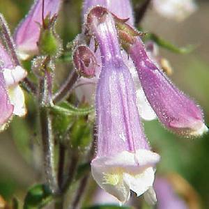 PENSTEMON hirsutus (pubescens)