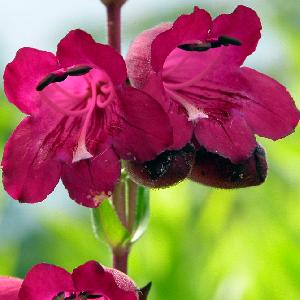 PENSTEMON 'Pen Purple'