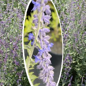PEROVSKIA (atriplicifolia) 'Blue Spire'