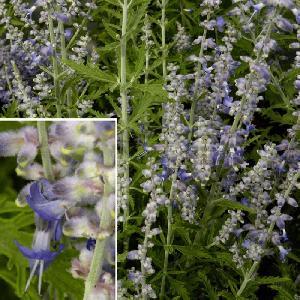 PEROVSKIA atriplicifolia 'Lacey Blue' ®