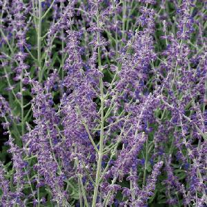PEROVSKIA atriplicifolia 'Little Spire'®