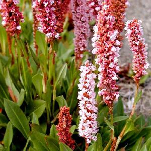 PERSICARIA affinis 'Darjeeling Red'