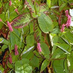 PERSICARIA amplexicaulis 'Speciosa' ('Atrosanguine