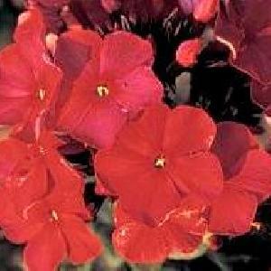 PHLOX 'Augustfackel' (Paniculata Group)