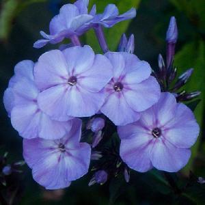 PHLOX 'Blue Boy' (Paniculata Group)