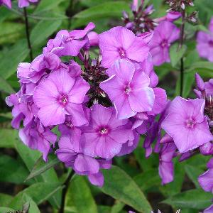 PHLOX 'Blue Paradise' (Paniculata Group)