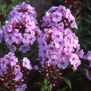 PHLOX 'Bright Eyes' (Paniculata Group)