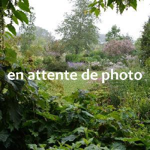 PHLOX 'Caroline van den Berg' (Paniculata Group)