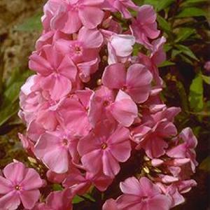 PHLOX 'Dodo Hanbury Forbes' (Paniculata Group)
