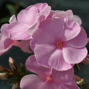 PHLOX 'Dresden China' (Paniculata Group)