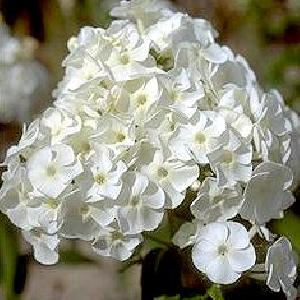 PHLOX 'Jacqueline Maille' (Paniculata Group)