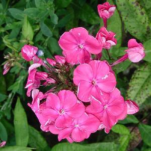 PHLOX 'Jules Sandeau' (Paniculata Group)