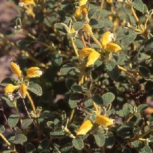 PHLOMIS lanata