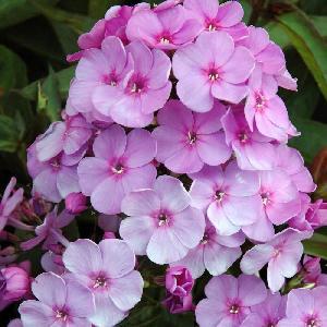 PHLOX 'Lilac Time' (Paniculata Group)