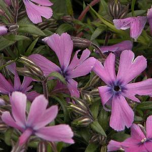 PHLOX 'Moerheimii' (Subulata Group)