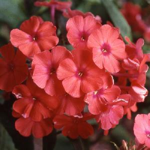 PHLOX 'Orange Perfection' (Paniculata Group)