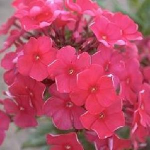 PHLOX 'Otley Ideal' (Paniculata Group)