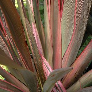 PHORMIUM 'Pink Stripe'