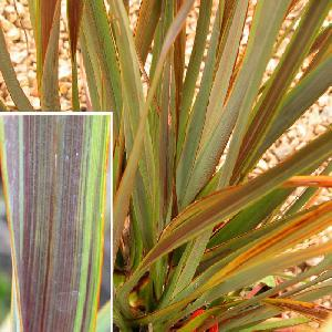 PHORMIUM tenax 'Co-ordination' (='Sea Jade')