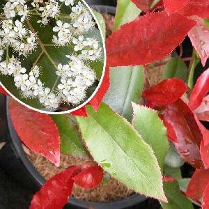 PHOTINIA x fraseri 'Dicker Tony'