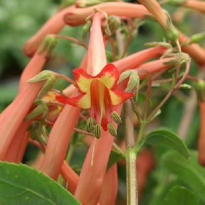 PHYGELIUS 'Funfair Orange' (='Yapor'®)
