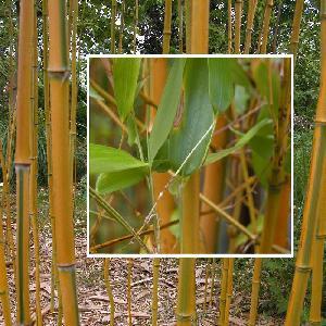 PHYLLOSTACHYS aureosulcata 'Spectabilis'